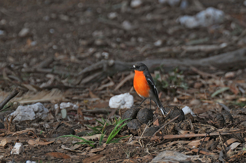 A Flame Robin in the forest