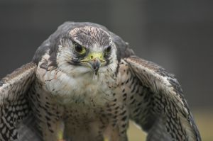The Peregrine Falcon is one of the fastest animals on earth