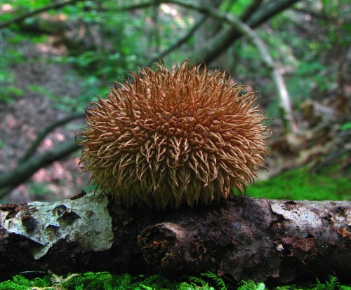 This puffball is spiny