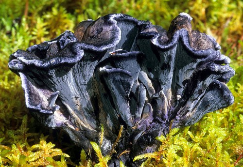 Also known as the blue chanterelle