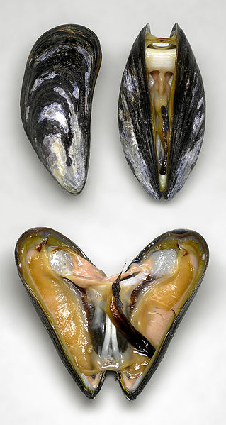 An open blue mussel