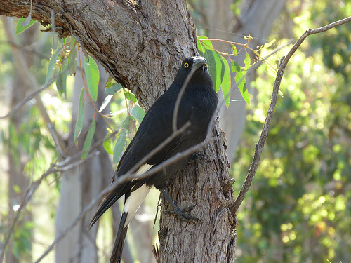 Black Currawongs are native to Tasmania