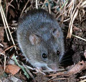 A Marsh Rice Rat in vegetation