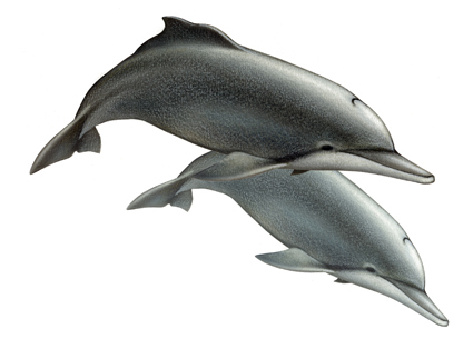 This dolphin is found on the west coast of Africa