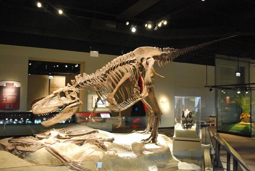 The skeleton of the Daspletosaurus at the Field Museum