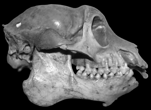The skull of the Mesopropithecus globiceps