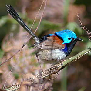 The Variegated Fairywren is striking