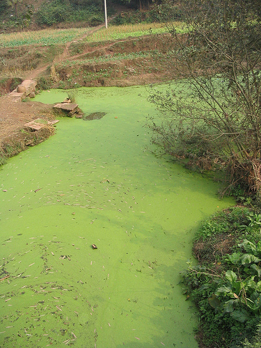 Algae bloom in the waterway