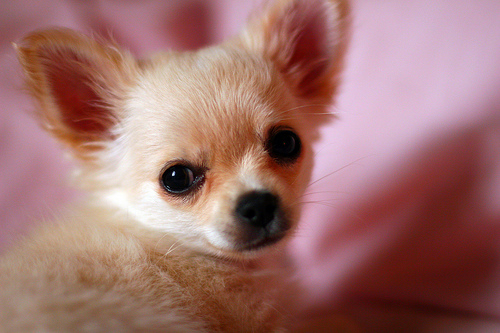 This dog breed is named after the Mexican state of Chihuahua