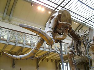 A skeleton of a Mammoth