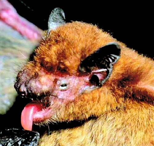 The head of the Pipistrellus raceyi