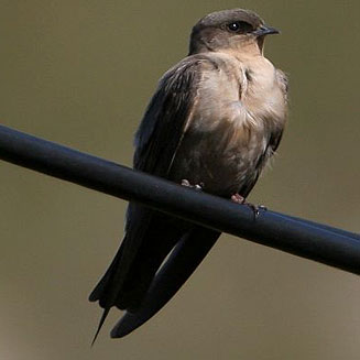 This bird is part of the swallow family