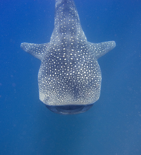 Whale sharks may be larger than previously thought